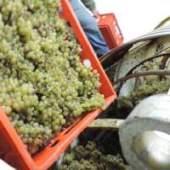 Venange, récolte du raisin à la main au Domaine viticole des Bourrats